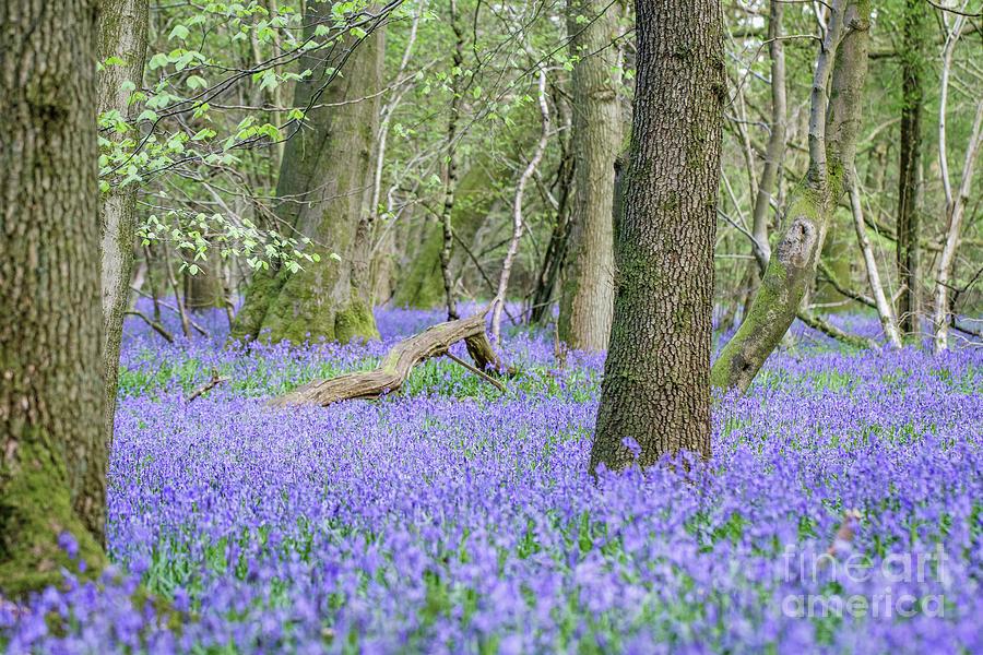 Blue Photograph - Bluebell Wood - Hyacinthoides non-scripta - Surrey , England by Paul Farnfield