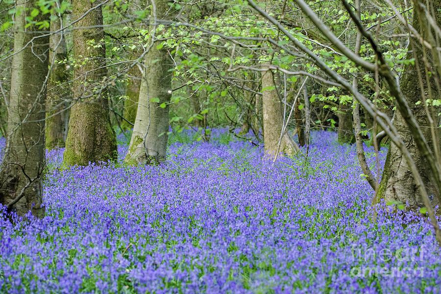 Blue Photograph - Bluebell Woodland Hyacinthoides non-scripta, Surrey , England by Paul Farnfield