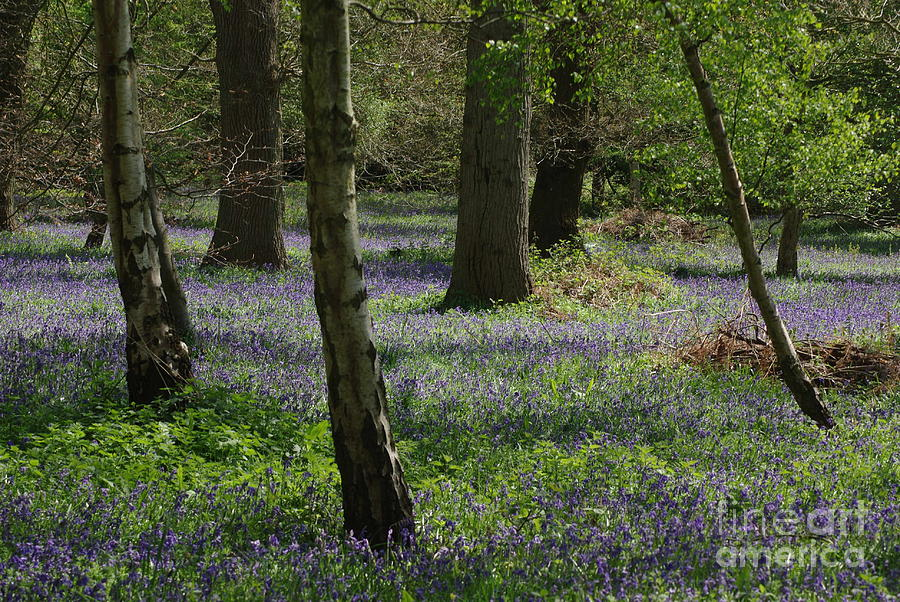 Bluebells Photograph - Bluebell Woods by Catja Pafort