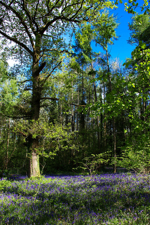 Bluebells Photograph - Bluebell woods by Peggy Berger