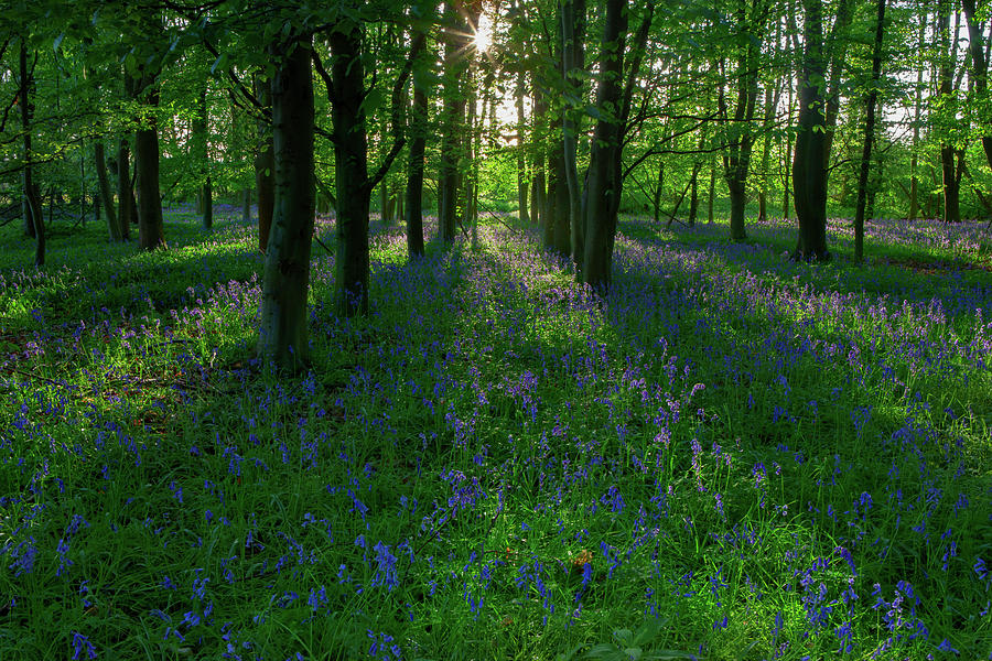 Bluebells in Oxey Woods by Nick Atkin