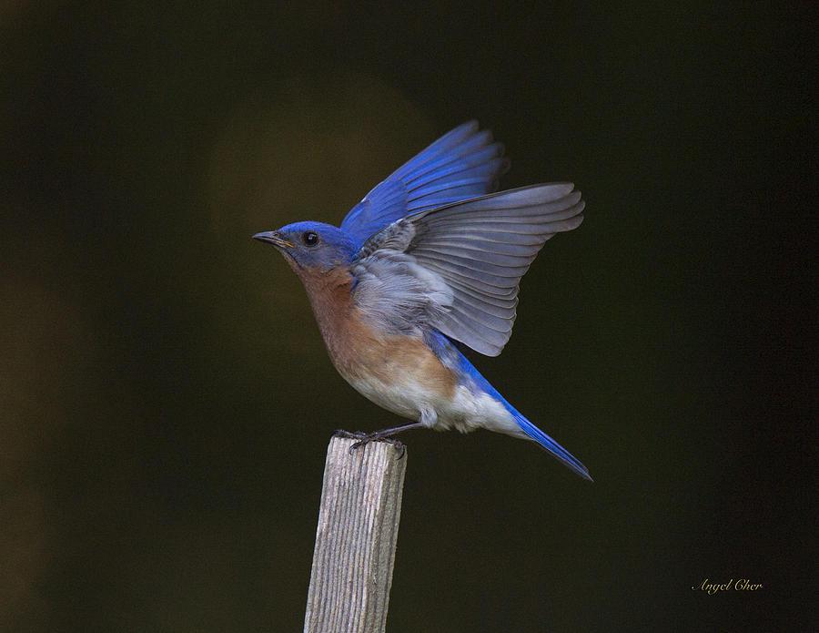 Bluebird Photograph - Bluebird  by Angel Cher