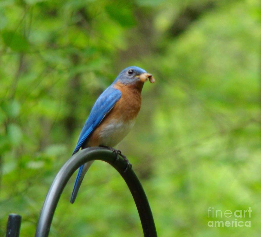 Bluebird catches worm by Rand Herron