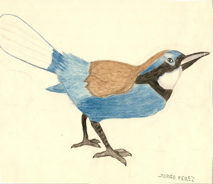 Birds Drawing - Bluebird by George I Perez