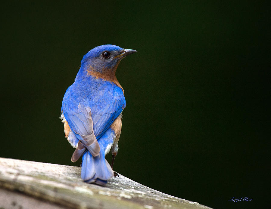 Bluebird Photograph - Bluebird Male by Angel Cher