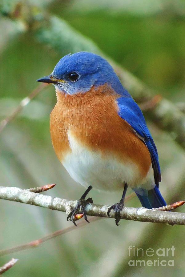 Eastern Bluebird Photograph - Bluebird On Branch by Crystal Joy Photography