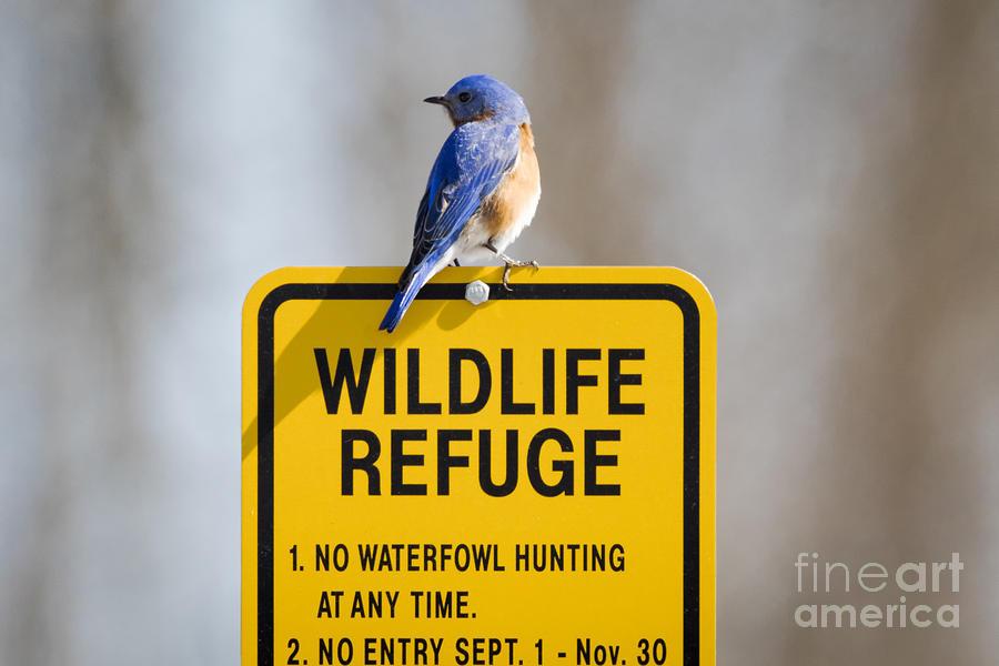 Canon Photograph - Bluebird  by Ricky L Jones