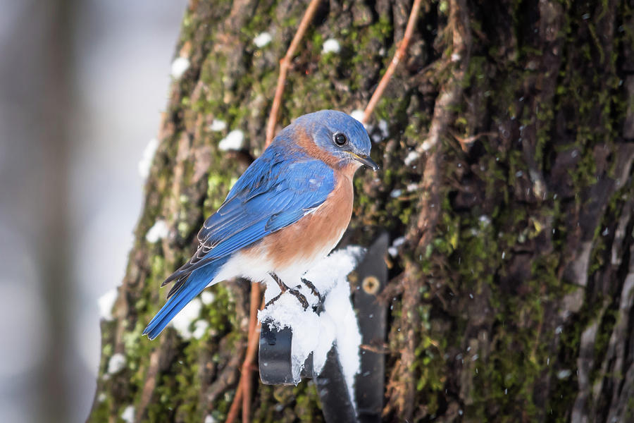 Bluebird by Serena Vachon