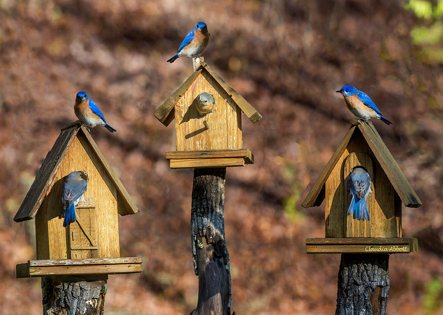 Bluebirds by Claudia Abbott