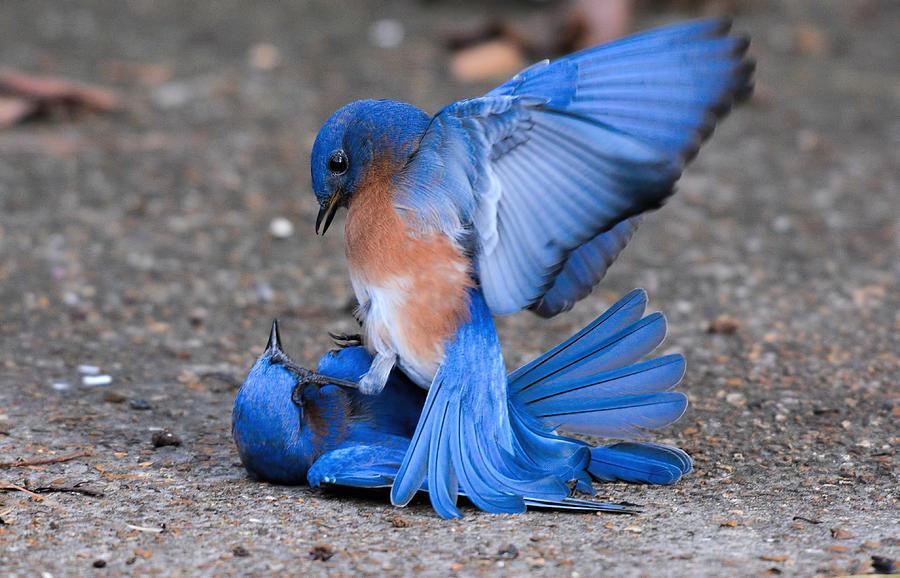 Backyard Birds Photograph - Bluebirds Fighting 011020164378 by WildBird Photographs
