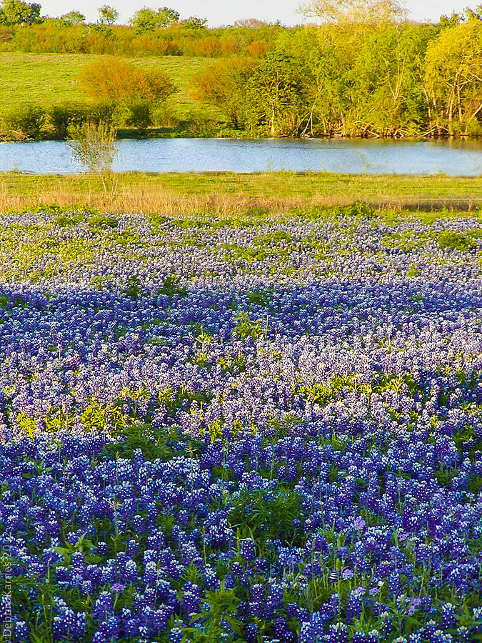 Bluebonnets Photograph - Bluebonnet Field by Debbie Karnes