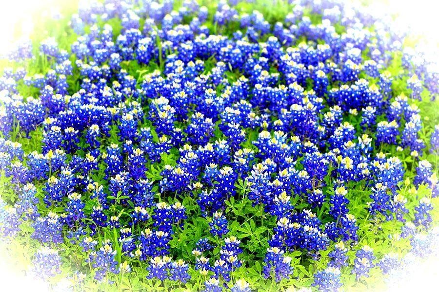 Bluebonnet Photograph - Bluebonnet Patch by Beth Wiseman