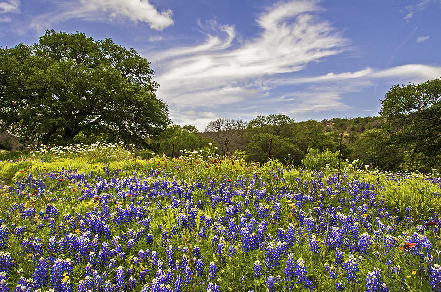 Bluebonnets Photograph - Bluebonnet Spring by Lynn Bauer