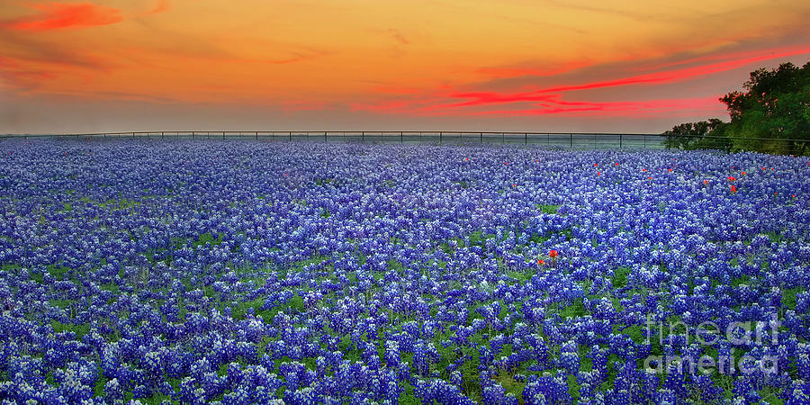 Texas Bluebonnets Photograph - Bluebonnet Sunset Vista - Texas Landscape by Jon Holiday