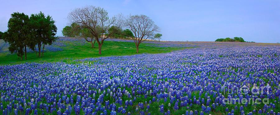 Spring Photograph - Bluebonnet Vista - Texas Bluebonnet Wildflowers Landscape Flowers  by Jon Holiday