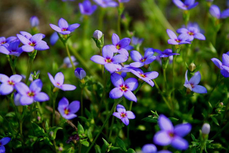 Bluets Photograph - Bluets by Kathryn Meyer