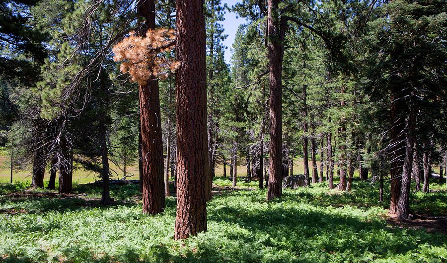 Landscape Photograph - Bluff Lake Ca Fern Forest 2 by Chris Brannen