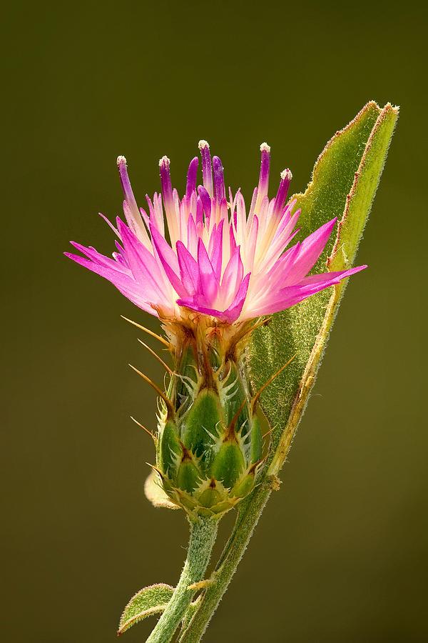Flower Photograph - Blush Centaury-thistle by Yuri Peress