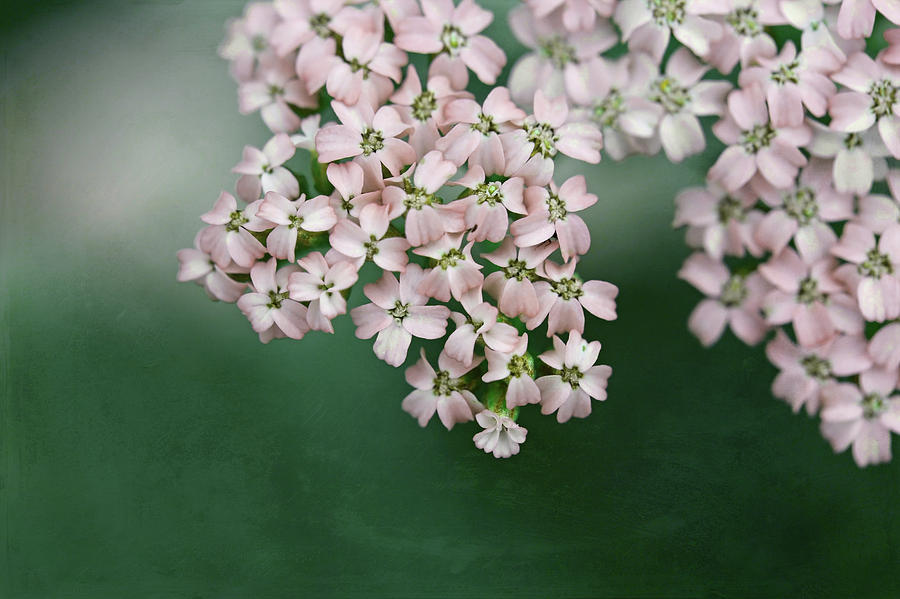 Blush Pink Flowers On Emerald Green Photograph By Brooke T Ryan
