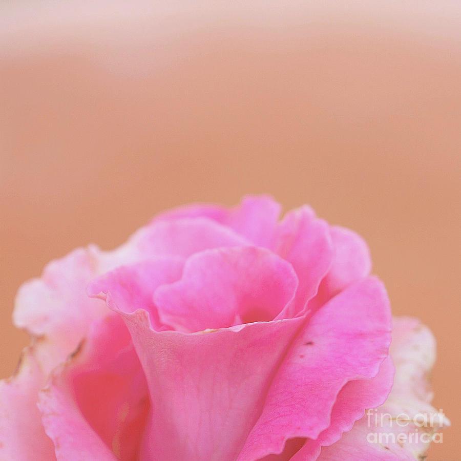 Blushing Rose by Cindy Garber Iverson