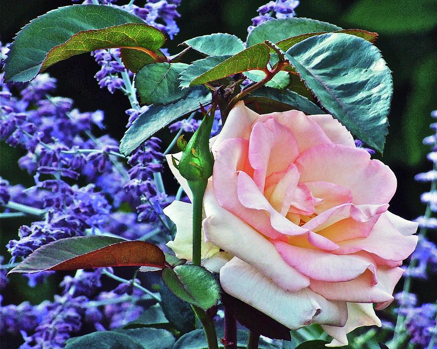 Rose Photograph - Blushing Rose by Janis Nussbaum Senungetuk