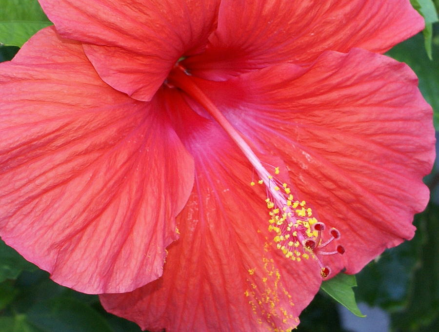 Flowers Photograph - Blushing Stamen by Debbie May