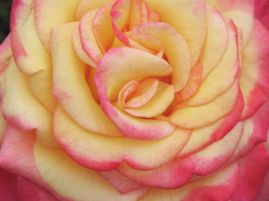 Blushing Yellow Rose Photograph by Christina Geiger