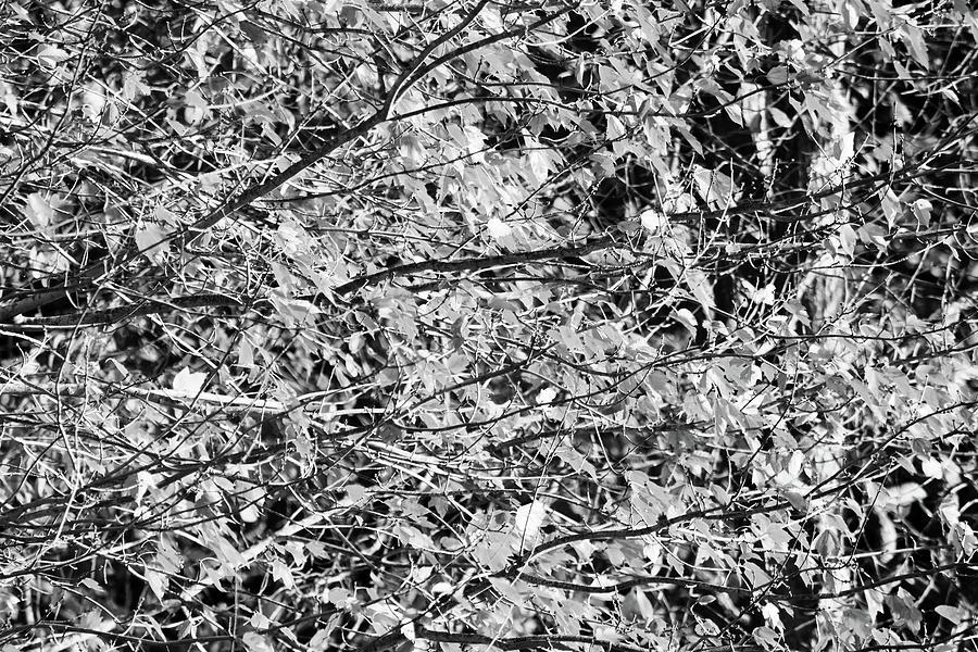 Bnw Tree Photograph