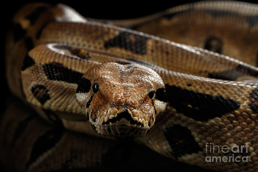 Boa Photograph - Boa constrictor imperator color, on isolated black background by Sergey Taran