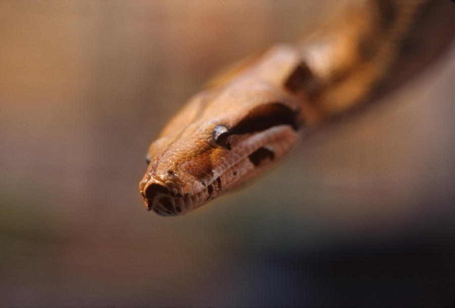 Boa Constrictor Photograph - Boa by Frank Mari