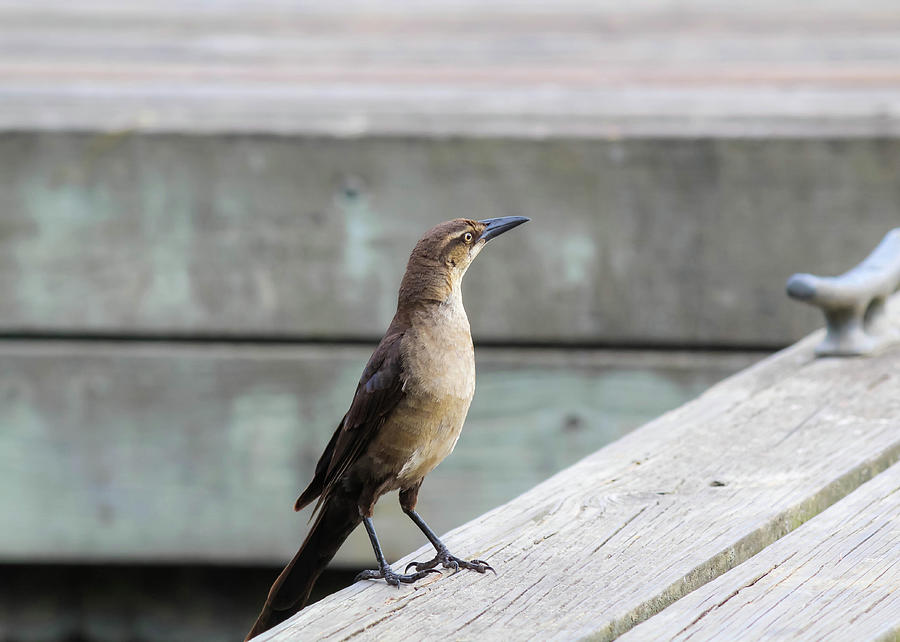 Boat Tailed Grackle Photograph