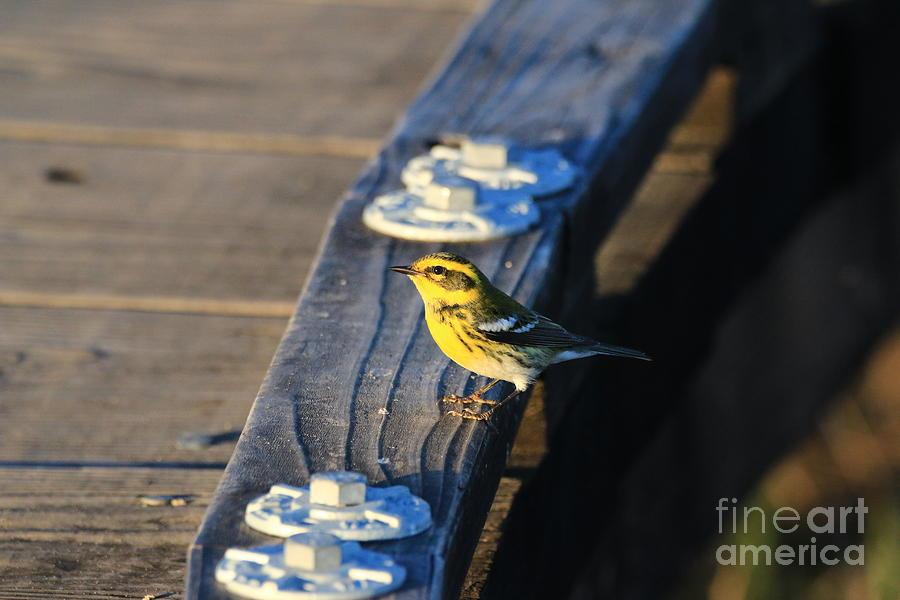 Warbler Photograph - Boardwalk Inspector by Craig Corwin