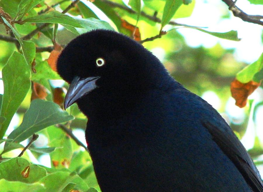 Bird Photograph - Boat Tailed Grackle Close Up by J M Farris Photography