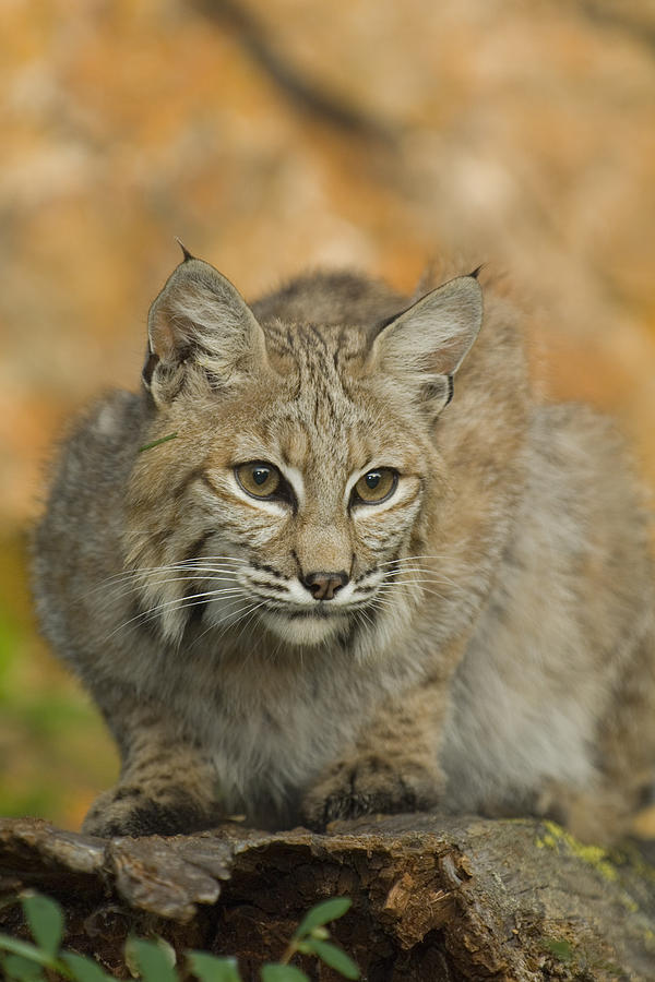 Alertness Photograph - Bobcat Felis Rufus by Grambo Photography and Design Inc.