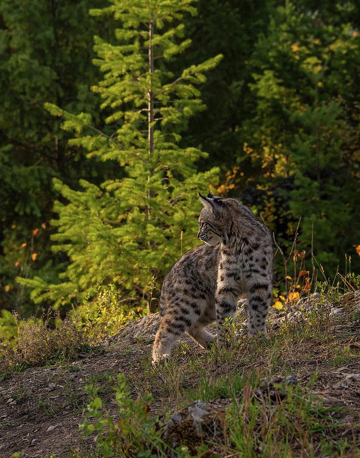 Bobcat Photograph - Bobcat kitten in the morning by Roy Nierdieck
