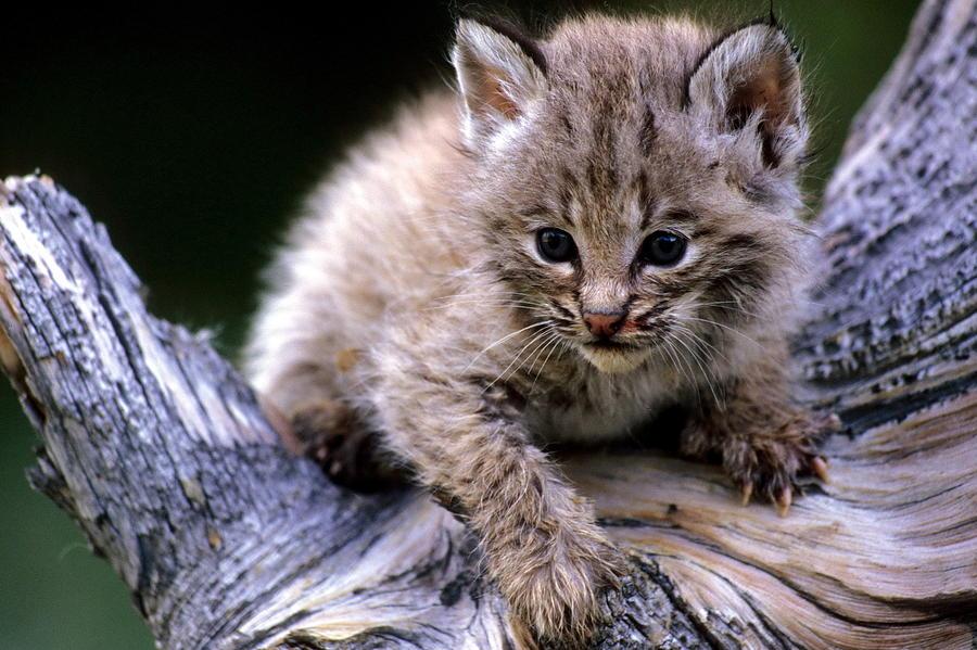 Wildlife Photograph - Bobcat Kitten by Larry Allan
