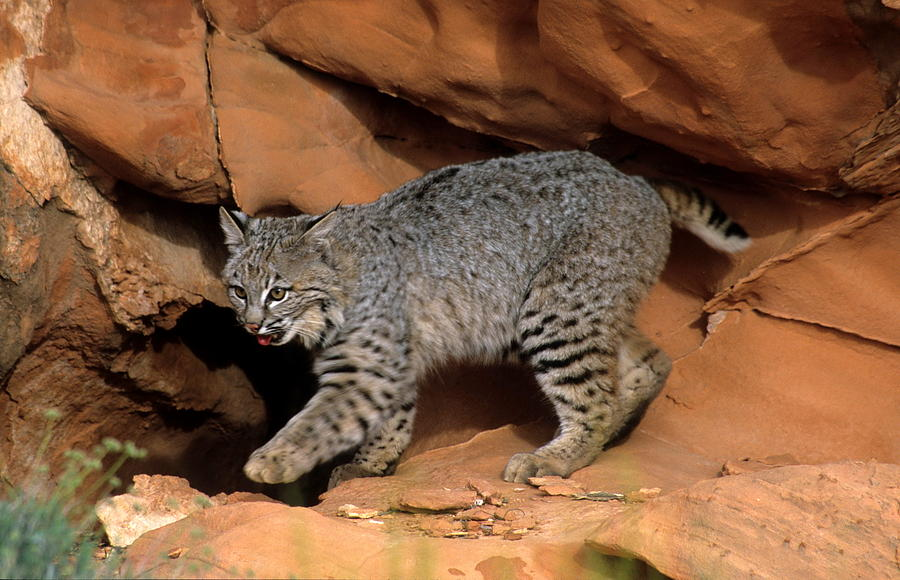 Wildlife Photograph - Bobcat Makes Its Move by Larry Allan