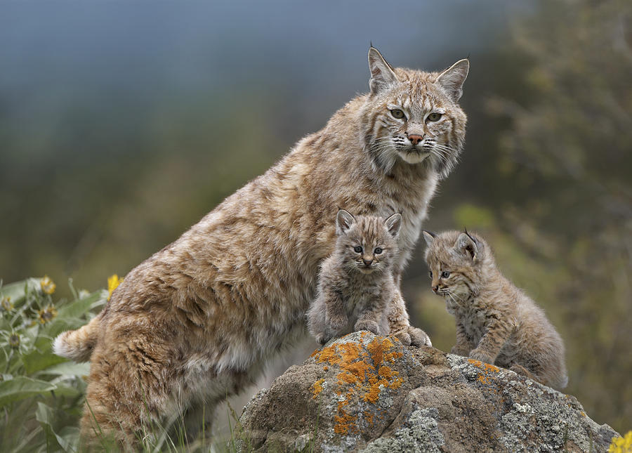 Adult Photograph - Bobcat Mother And Kittens North America by Tim Fitzharris
