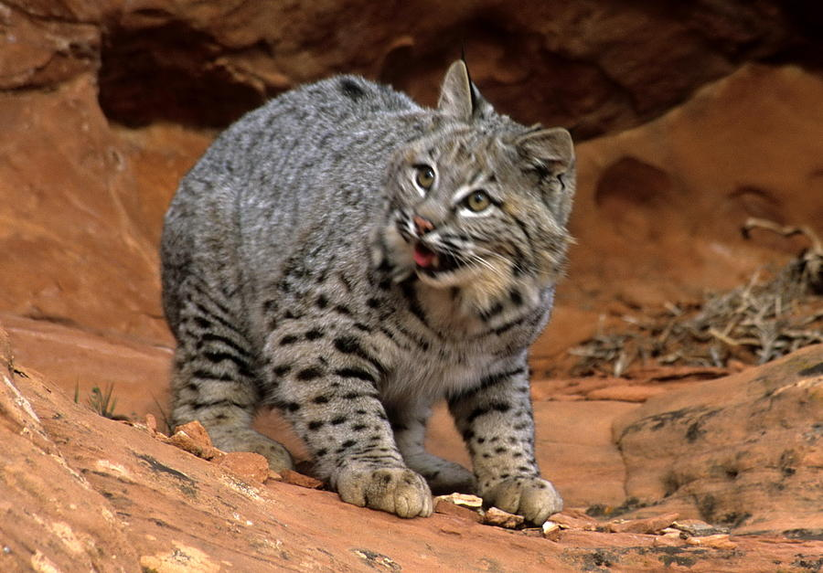 Wildlife Photograph - Bobcat Ready--and Willin by Larry Allan