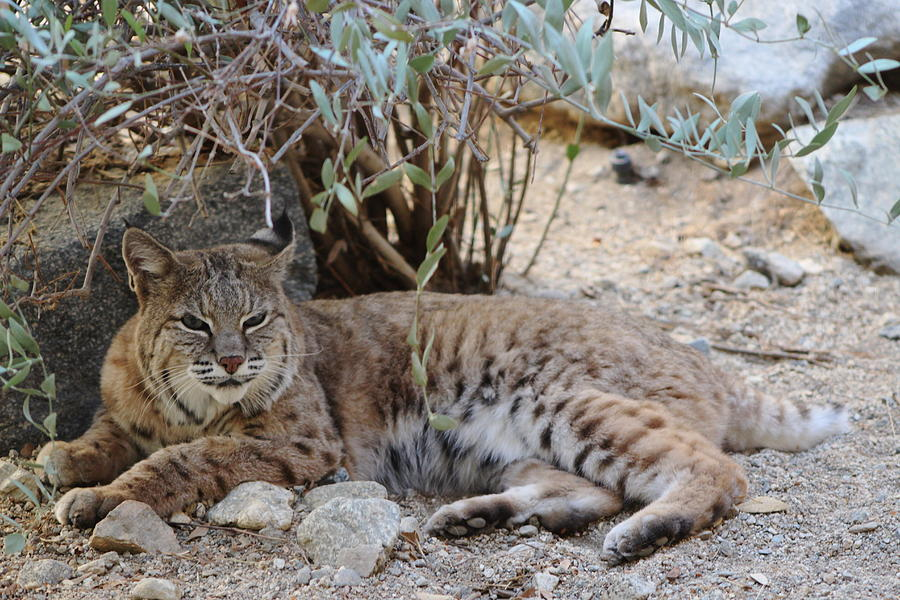 Bobcat Photograph - Bobcat Resting by Colleen Cornelius