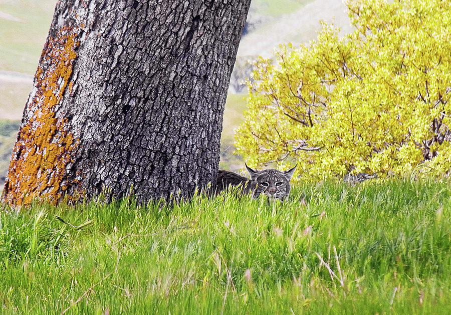 Landscape Photograph - Bobcat Watch by Karen  W Meyer