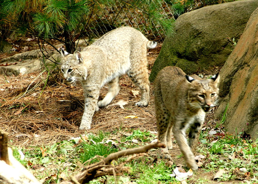 Wildlife Photograph - Bobcats Begin To Hunt by Larry Allan