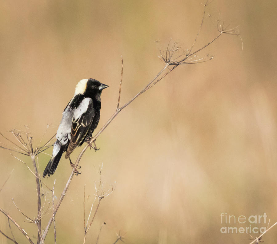 Canon Photograph - Bobolink  by Ricky L Jones