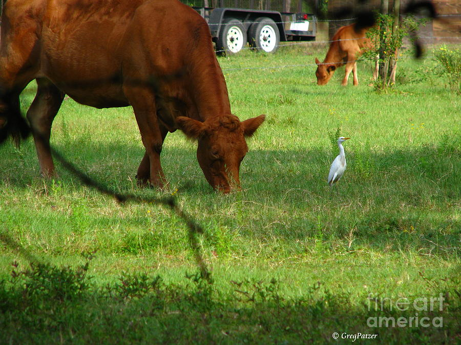 Cows Photograph - Bodyguard by Greg Patzer