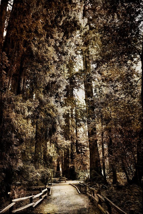Sequoias Photograph - Bohemian Grove  by Tom Bollinger