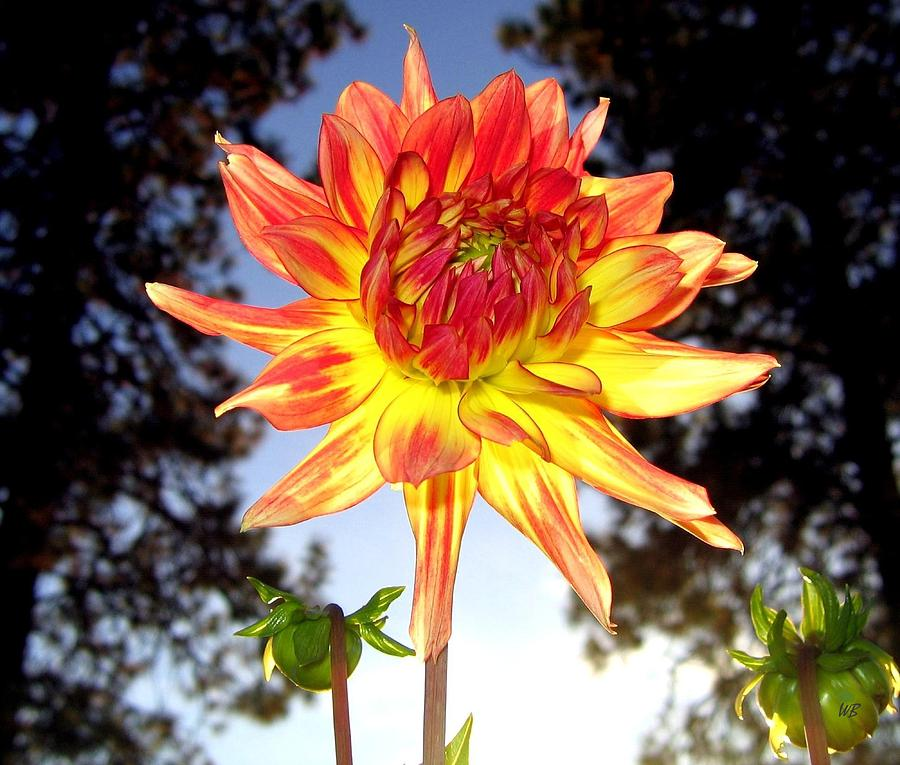 Dahlia Photograph - Bold And Beautiful by Will Borden