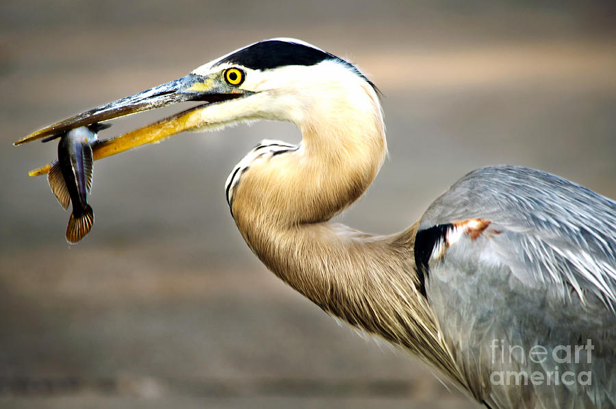 Heron Photograph - Bon Appetite by Gaby Swanson