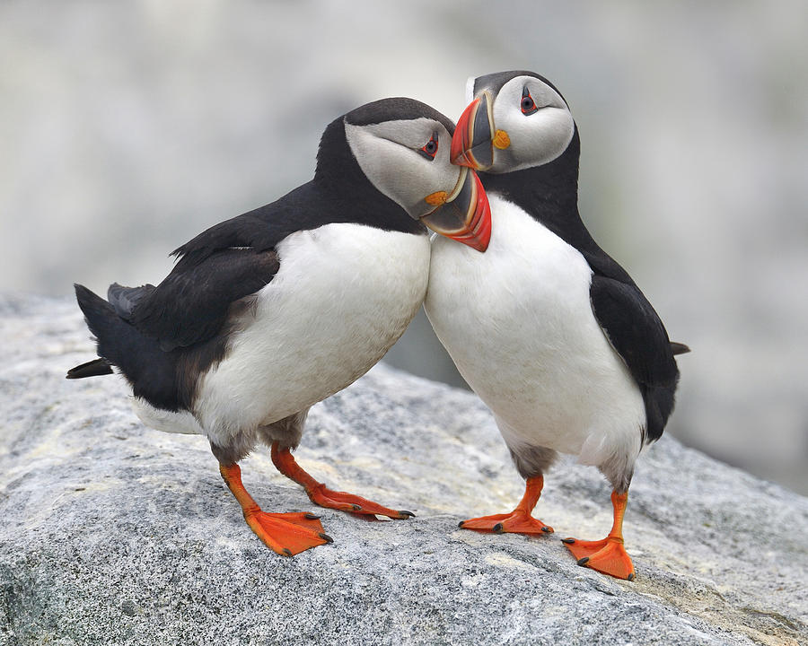 Atlantic Puffin Photograph - Bonded And Banded by Tony Beck