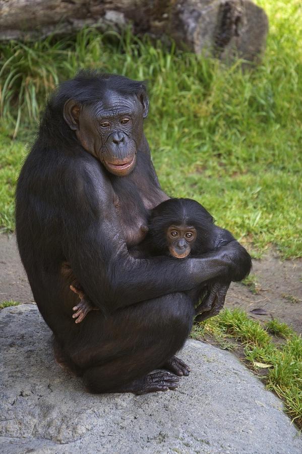 Bonobo Pan Paniscus Mother Cradling Photograph By San
