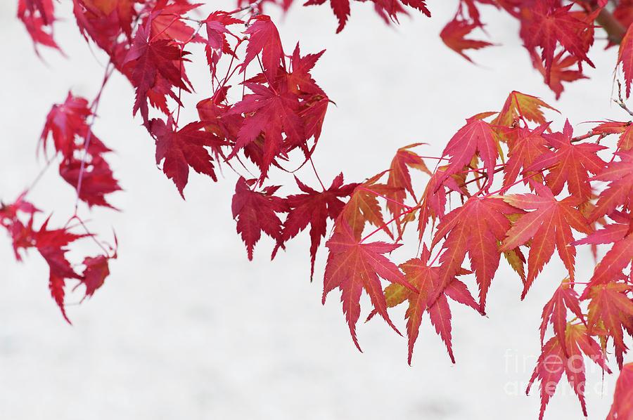 Bonsai Acer Palmatum Katsura Photograph By Tim Gainey